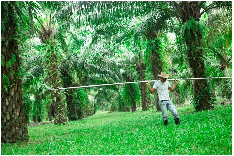 Campesino en la Guadalupe Carney, trabajando la cosecha de palma africana. Colón, Honduras.