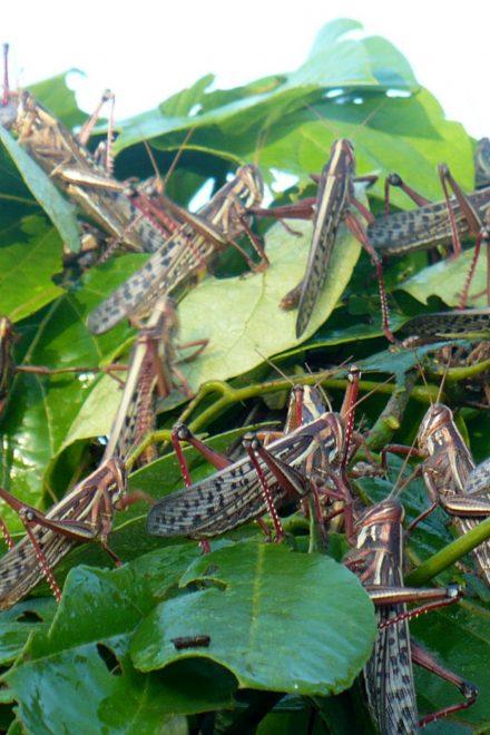 Honduras en alerta ante posible llegada de plaga devoradora de cultivos
