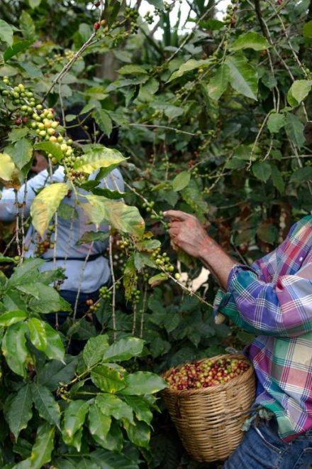 En riesgo de enfrentar pérdidas y endeudamiento manifiesta sector del café